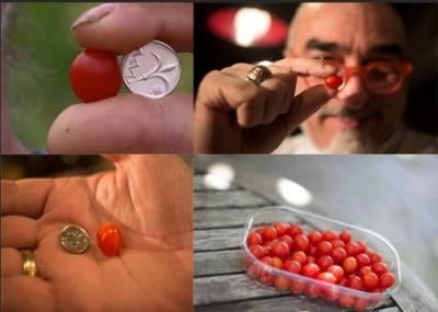 اسرائیل کے کچھ ماہرین اور کسانوں نے ننھے ننھے ٹماٹراُگا لئے ہیں