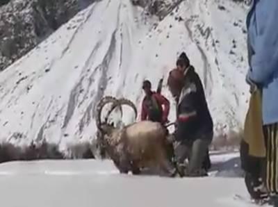 پاکستان کا قومی جانور گلگت بلتستان کے عوام کا مہمان بن گیا،