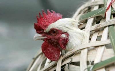 سعودی عرب: برڈ فلو کے پیش نظر ہالینڈ سے پرندوں کی درآمد پر عارضی پابندی