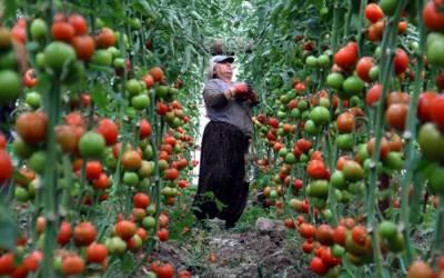 روس نے مزید پانچ ترک کمپنیوں کو ٹماٹر درآمد کرنے کی اجازت دےدی۔