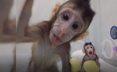 World's first cloned monkeys join wild tribe