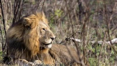 جنوبی افریقہ میں شیروں نے گینڈے کے تین شکاریوں کو مارنے کے بعد کھا لیا