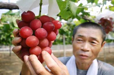 جاپان میں انگور کا گچھا 12لاکھ پاکستانی روپےمیں نیلام