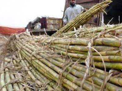 پاکستان میں گنے کی فی ایکڑ اوسط پیداوار 500 من ہے