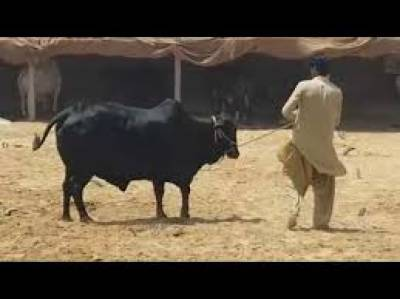 مویشی منڈی سے باہر مویشی فروخت کرنے پر پابندی