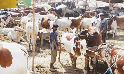 Pindiites crowd cattle markets, shopping centres
