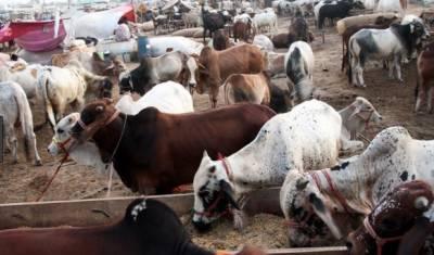 عید قرباں میں دو روز باقی ہیں, مویشی منڈیوں کی رونقیں عروج پر پہنچ گئیں۔