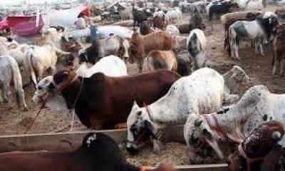 کراچی: سپرہائی وے کی منڈی میں جانوروں کی قلت، قیمتیں آسمان پر پہنچ گئیں