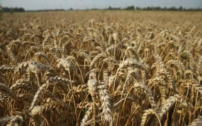 امریکا میں گندم کے نرخوں میں کمی،مکئی اور سویابین میں اضافہ