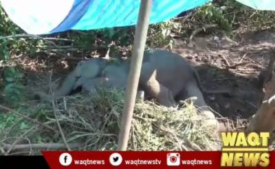Wild male elephant injured by female one's kick in Thailand