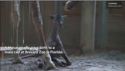 A newborn Masai giraffe attempts to walk at Florida's Brevard Zoo
