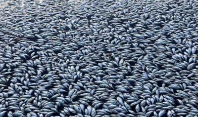 آسٹریلیا میں لاکھوں مچھلیاں موت کا شکار