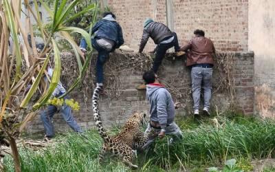 بھارت: خونخوار چیتے کے حملےمیں 6افراد زخمی،وڈیو وائرل