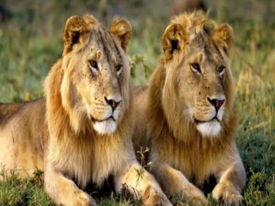 یو اے ای کی جانب سے لاہور چڑیا گھر کیلئے 18 شیروں کا تحفہ