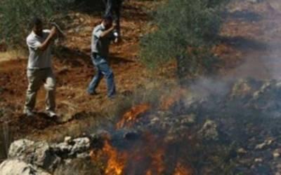 یہودیوں نے غرب اردن میں زیتون کے 150 پھل داردرخت اکھاڑ ڈالے