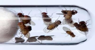 کینسر کے مریضوں کے علاج میں پھل مکھیاں مددگار ہوسکتی ہیں