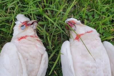 آسٹریلیا : خون آلود آنکھوں والے درجنوں پرندے زمین پر گرکر ہلاک