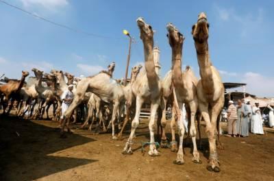 عازمین حج کیلئے 10 لاکھ سے زائد جانور قربانی کیلئے جمع کر لئے گئے