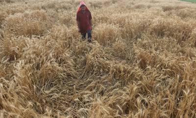 سندھ میں بارشوں کے دوران فصلوں کو نقصانات،سندھ حکومت نے تفصیلات جاری کردی۔