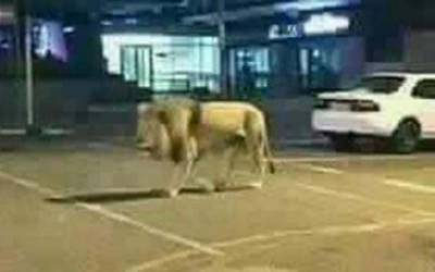 شیر کے ساتھ گھومنے والا شہری گرفتار ،مقدمہ درج