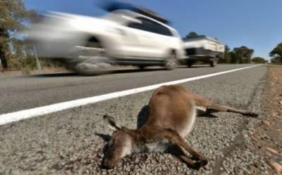 آسٹریلیا:ٹرک کی ٹکر سے 20کینگروز کو مارنے والا لڑکا گرفتار