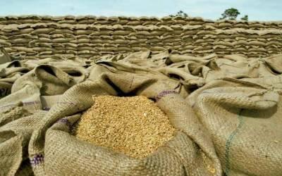 سندھ حکومت کا گندم پیداوار کا 37 فیصد خریدنے کا فیصلہ