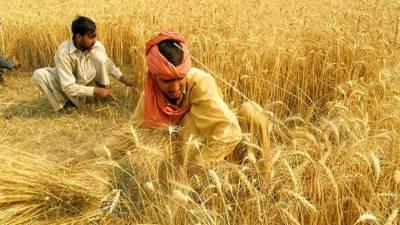 سندھ :ضلع بدین سمیت زیریں سندھ میں گندم کی کٹائی کا آغاز
