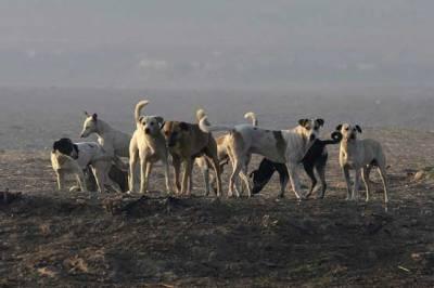 گولارچی مختلف علاقوں میں آوارہ کتوں کے کاٹنے سے 7 افراد زخمی