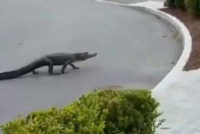 کروناوائرس لاک ڈاون: جنوبی کیرولینا میں مگرمچھ سڑک پر آگیا۔