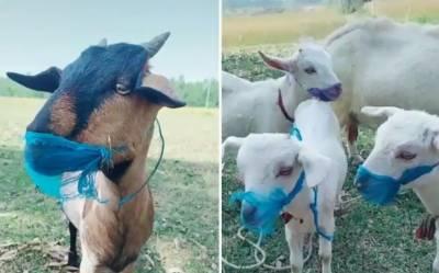 تنزانیہ میں عجیب کیس، بکری کا کورونا کیس پازیٹیو