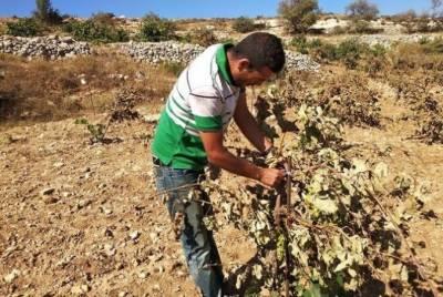 یہودی آباد کاروں نے فلسطینی شہری کا انگور کا باغ تباہ کردیا
