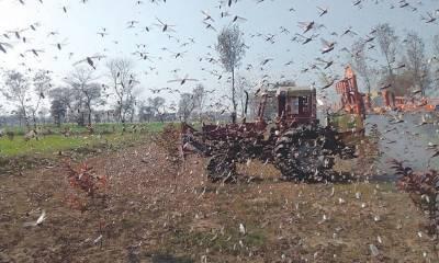 وہاڑی: ٹڈی دل کے حملے جاری ، فصلیں تباہ