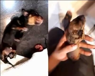 جانوروں کے ڈاکٹر نے کتیا کے آپریشن کے دوران 3 بچے چرا لیے، ڈاکٹر گرفتار