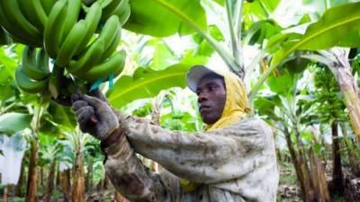 دنیا بھر میں کیلے کی فصل پر فنگس سے بڑے پیمانے پر فصل تباہ