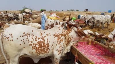 بلوچستان میں مویشی منڈیاں لگانے کیلئے ایس او پیز تیار کر لئے گئے