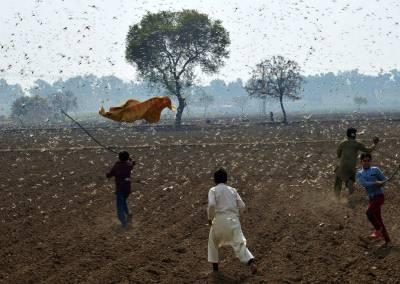 ٹڈی دل حملے:پنجاب میں زرعی ایمرجنسی لگانے کے مطالبے کی قرارداد پنجاب اسمبلی میں جمع