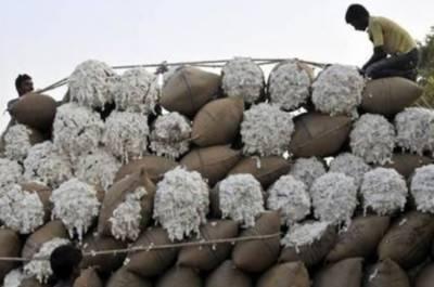بارشوں کے باعث کپاس کی فی من قیمت میں 400 روپے تک کمی