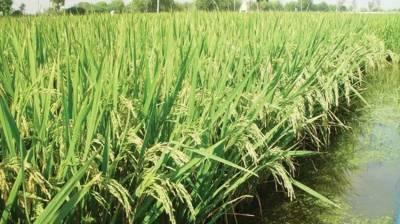 خریف سیزن، انتیس لاکھ ستاون ہزار ایکڑپر چاول کاشت کرنے کا ہدف مقرر