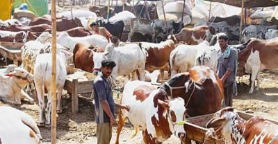 کوٹلی کی سب سے بڑی مویشی منڈی ویران ،جانور مہنگے