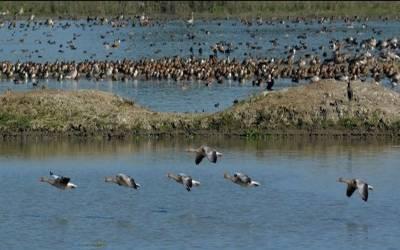 نقل مکانی کرنے والے پرندوں نے آسام کےنواح کا رخ کرلیا۔