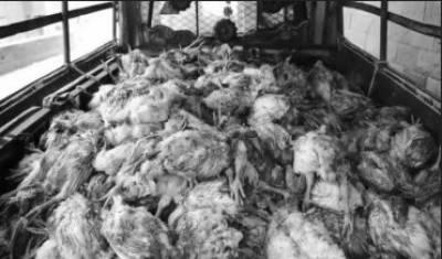 فوڈ سیفٹی اتھارتی کی کارروائی ،1ہزار سے زائد مردہ مرغیاں برآمد
