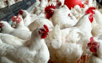 برائلر مرغی کے گوشت کی قیمت میں ریکارڈ کمی