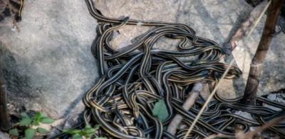 خاتون18خطرناک سانپوں کے درمیان سوتی رہی