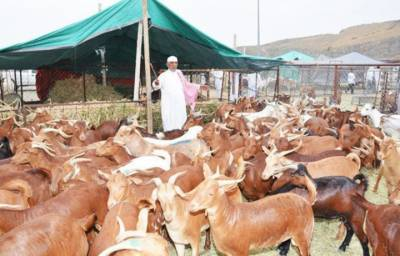 خالق نگر،کاہنہ میں عید الاضحی پر مویشیوں کی قیمتوں میں اضافہ ، شہری پریشان