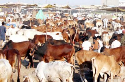 مویشی منڈی جانے والوں کیلئے بری خبر, کورونا ویکسین کارڈ لازمی دکھانا ہوگا: نیا حکم نامہ