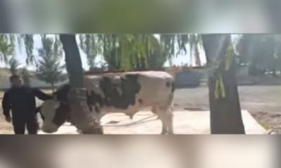 وزریراعظم عمران خان نے بنی گالہ میں دو بیلوں کی قربانی کی