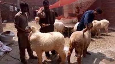 کراچی:عید کے روز بھی بکرا چوری کی وارداتیں